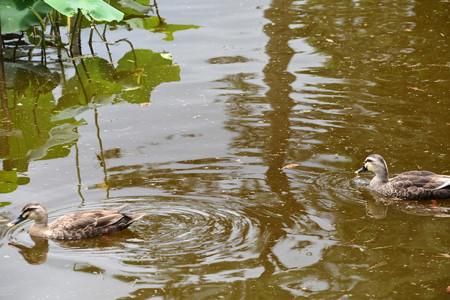 蓮池のカルガモ
