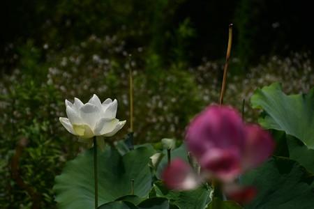 巨椋の白鳥(オグラノハクチョウ)