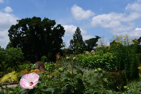 アメリカ芙蓉咲く彩りの丘