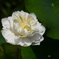 白牡丹(ハクボタン)
