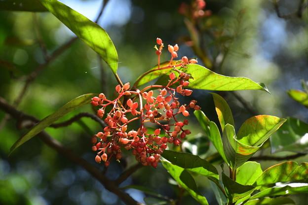 珊瑚樹(サンゴジュ)