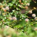 島谷渡りの木(シマタニワタリノキ)