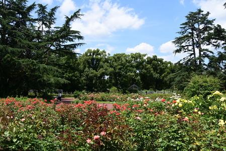 8月の薔薇園