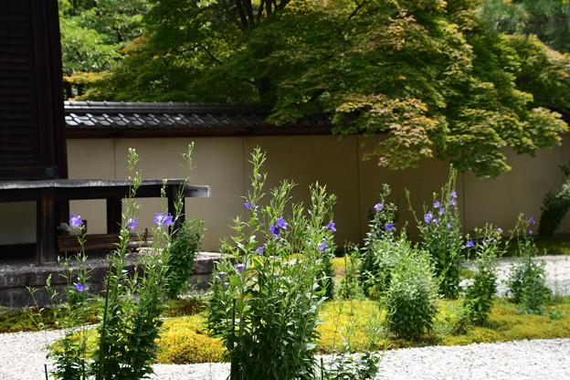 源氏の庭の桔梗(キキョウ)