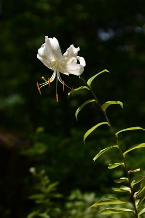 白鹿の子百合(シロカノコユリ)