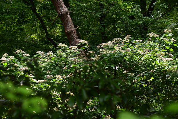 トンボ池の臭木(クサギ)