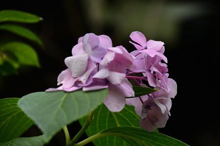 宗像神社の紫陽花(アジサイ)
