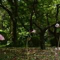 梅林の夏水仙(ナツズイセン)