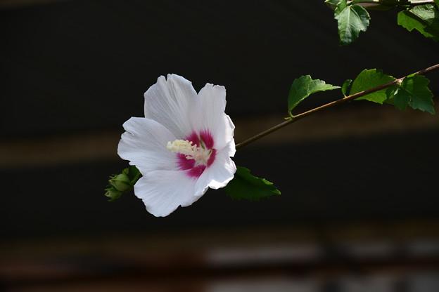 西林寺の木槿(ムクゲ)