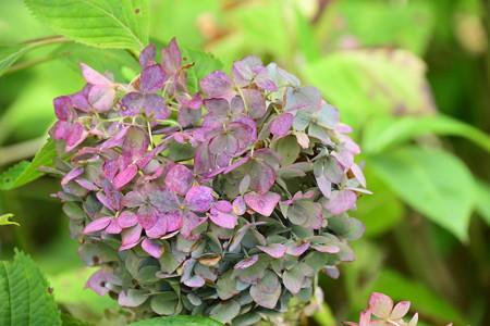 牧野姫紫陽花(マキノヒメアジサイ)