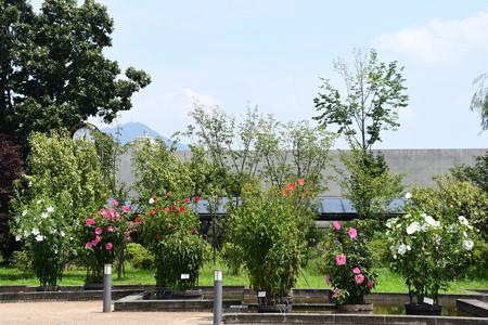 紅蜀葵とタイタンビカス