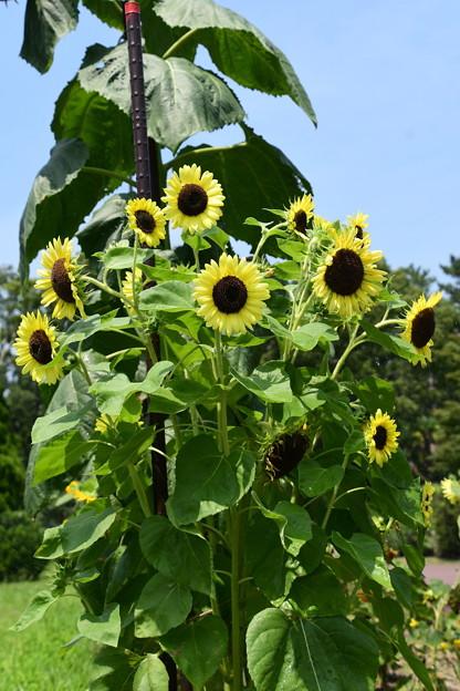 元気な向日葵