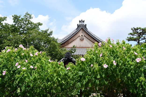 本堂前の芙蓉