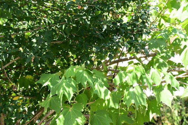 芙蓉(右手前)と木槿の葉