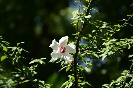 閑院宮邸跡の木槿(ムクゲ)