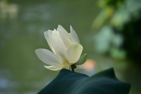 アメリカ黄花蓮(アメリカキバナハス)