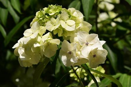 紫陽花の1種