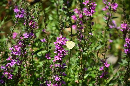 禊萩の中の黄蝶(キチョウ)