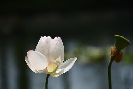金輪蓮(キンリンレン)
