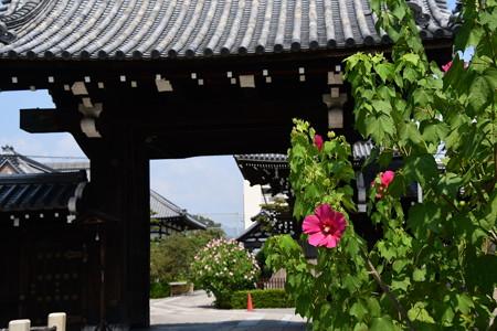 芙蓉咲く妙蓮寺
