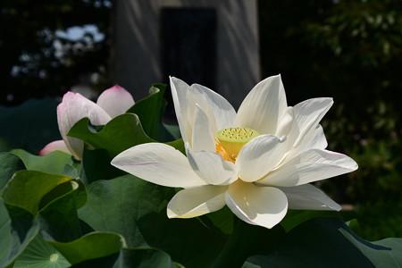 妙蓮寺の蓮