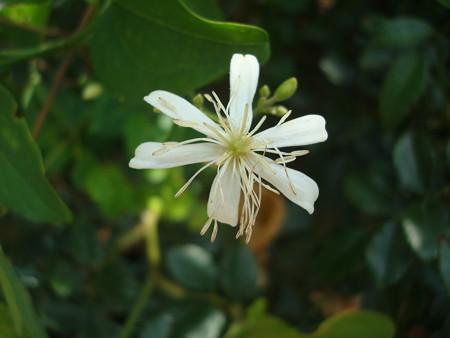 六弁の仙人草(センニンソウ)