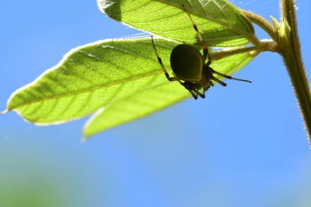 葉裏の蜘蛛