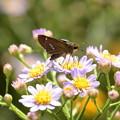 Photos: 紫苑に止まるイチモンジセセリ