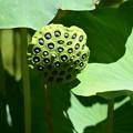 蜂巣(ハチス)