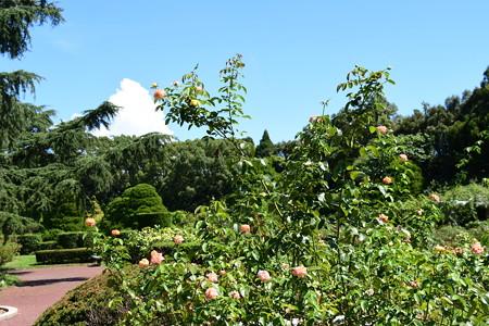 9月初めの薔薇園