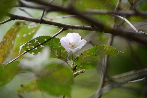 桜シーズン始まる~