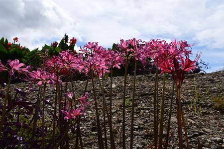彩りの丘に咲くリコリス