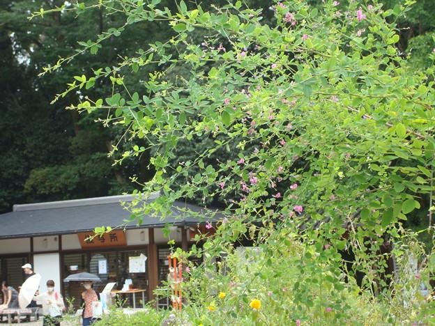 下鴨神社の萩