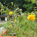 Photos: 山吹(ヤマブキ)