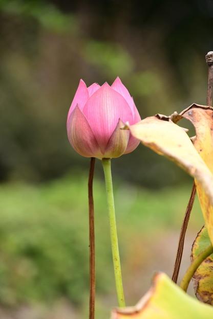 Photos: まだ蓮が咲いていました~