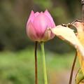 まだ蓮が咲いていました~