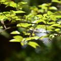 Photos: 葉の上にホシミスジ