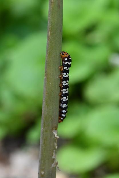 何の幼虫でしょう?