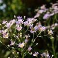 Photos: 紫苑(シオン)