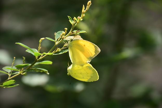 黄蝶のカップル