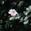 Photos: 丈山椿(ジョウザンツバキ)