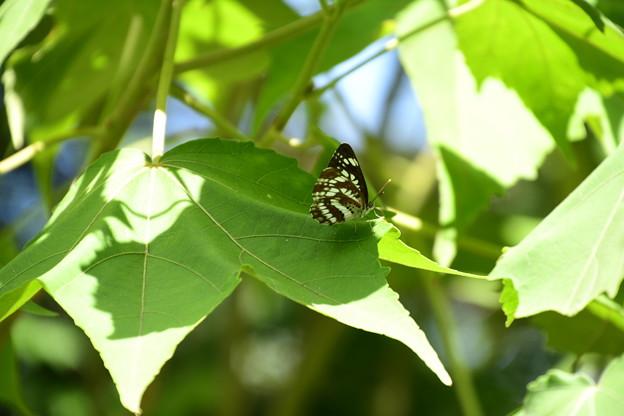 芙蓉の葉にホシミスジ