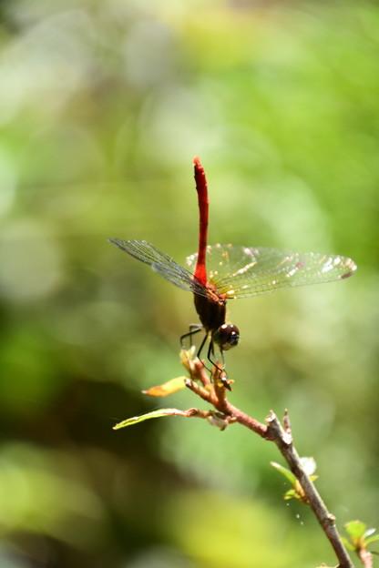 逆立ち蜻蛉