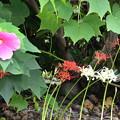 芙蓉と紅白彼岸花
