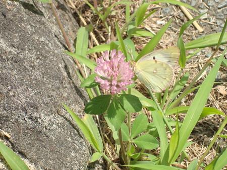 赤詰め草に止まる紋黄蝶(モンキチョウ)
