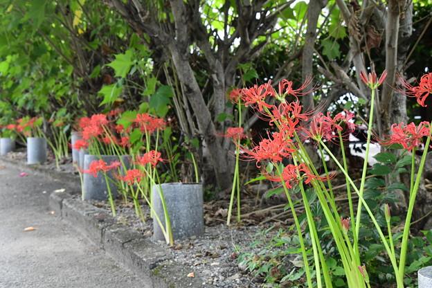 芙蓉の根元の彼岸花(ヒガンバナ)