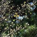 Photos: 返り咲きの桜
