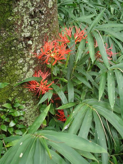 糺の森の彼岸花(ヒガンバナ)