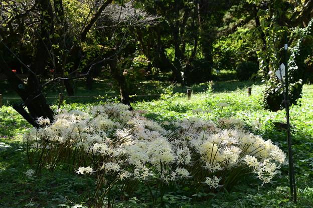 群れ咲く白花彼岸花(シロバナヒガンバナ)