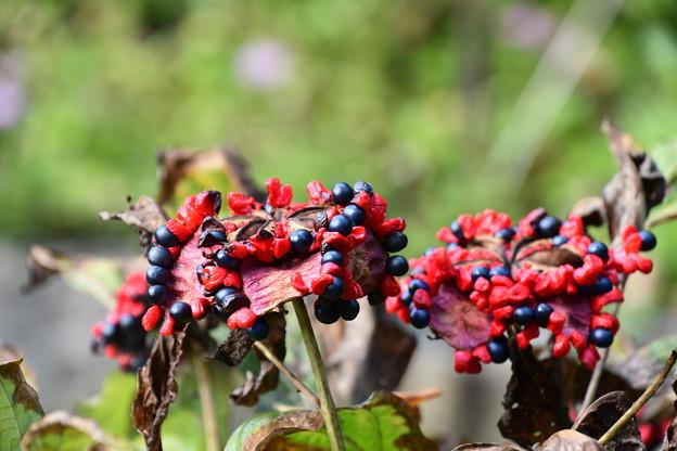 紅花山芍薬(ベニバナヤマシャクヤク)